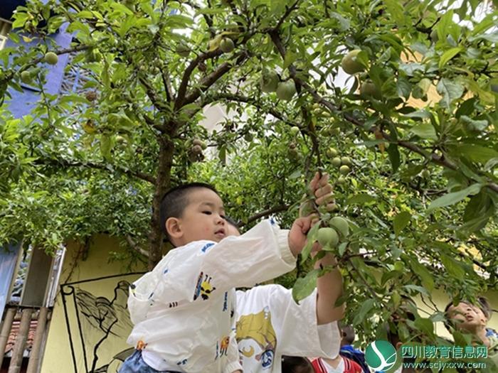 安居区三家镇中心幼儿园开展李子采摘活动